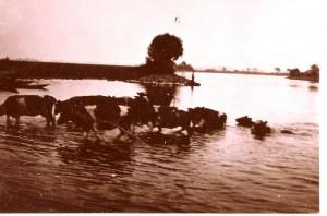 Kühe durch die Havel