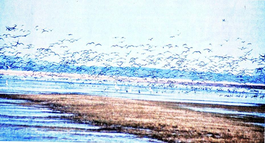 Herrliches Schauspiel der Natur: Wie am Gülper See, sammeln sich vielerorts die Zugvögel.